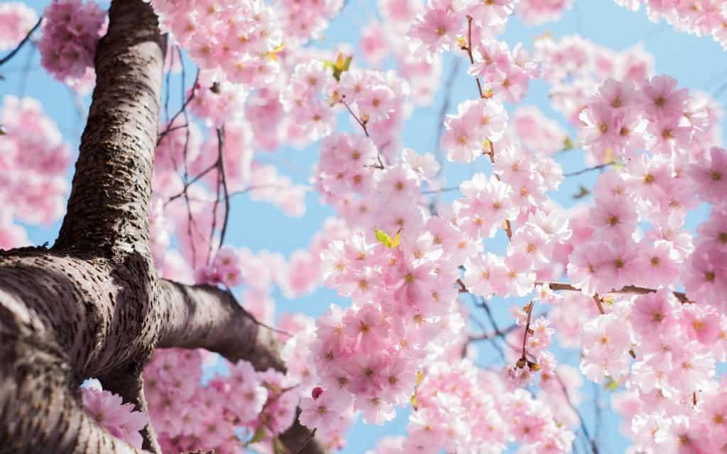 Spring - Cherry Bloossom