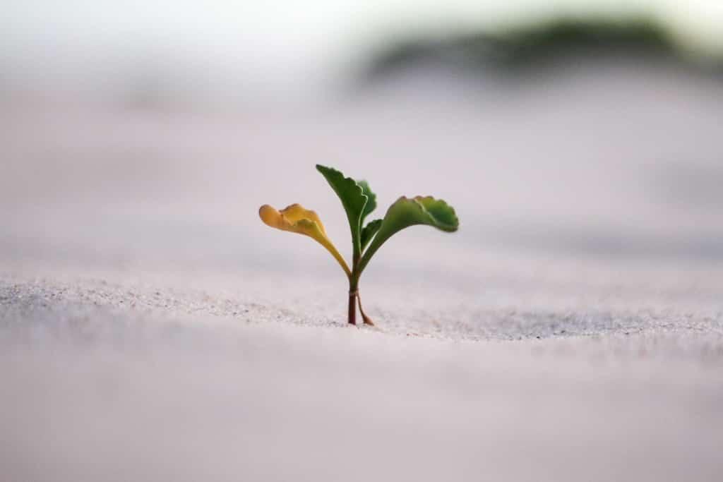 砂漠に生きる野草の芽